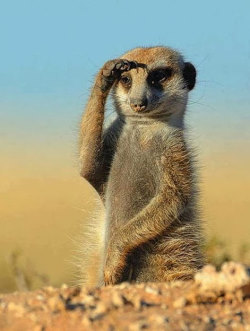 suricate suricata suricatta horizon prédateurs