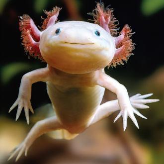 axolotl poisson marchant mexicain